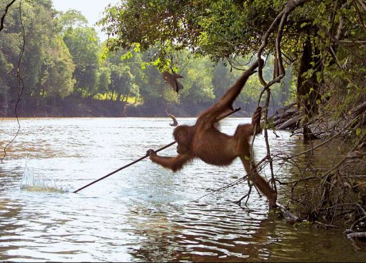 orangutan-tool-use-fishing.jpg