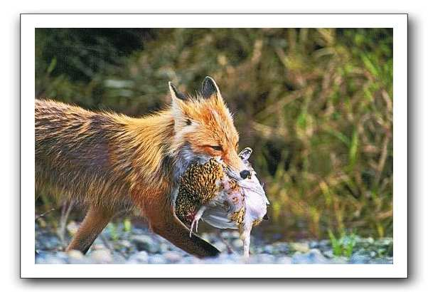 fox-frame.jpg