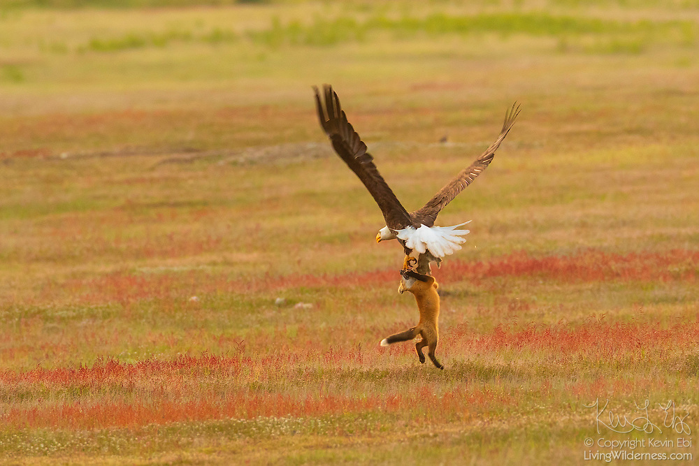 Eagle vs Fox